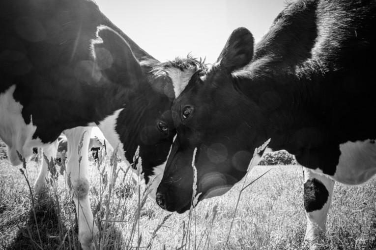 Studie zjistila, že krávy spolu mluví o svých pocitech