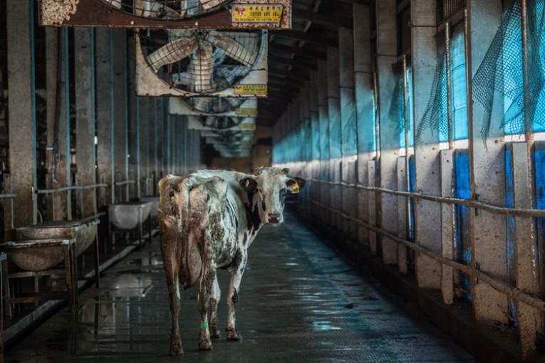 Do roku 2030 je očekáván kolaps masného a mléčného průmyslu