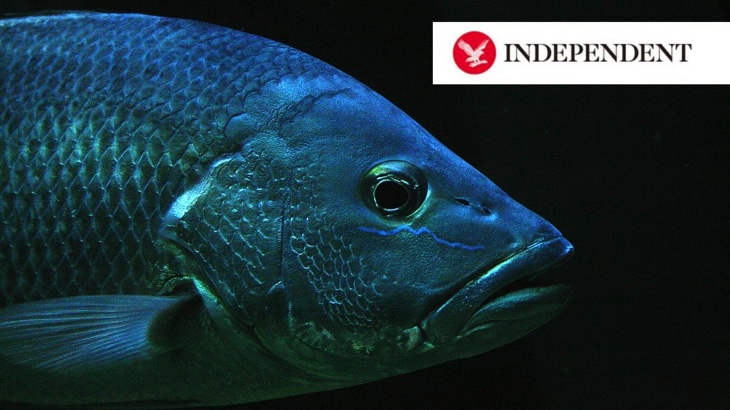 Ryby mohou cítit bolest stejně jako lidé, tvrdí výzkum (The Independent)