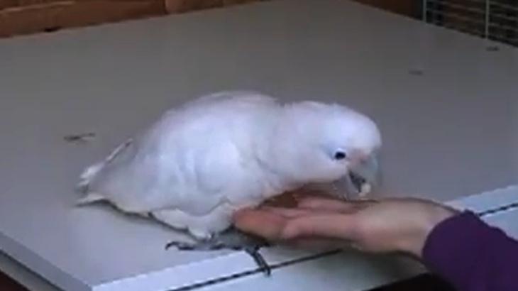 Papoušci jsou schopni směňovat oříšky