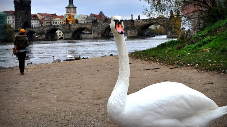 Pražský ohňostroj zabíjel labutě, padaly mezi diváky