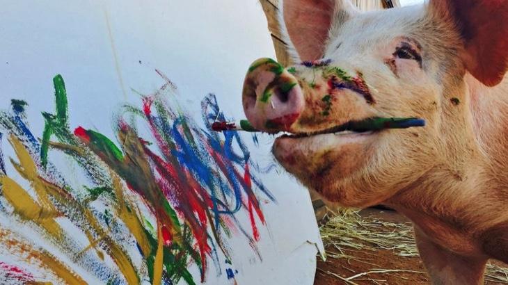 Seznamte se s Pigcassou – malující prasnicí zachráněnou z jatek