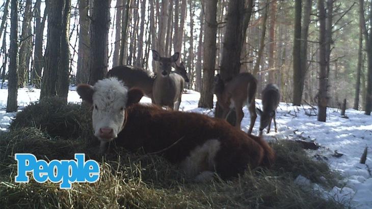 Telátko uniklo jatkám, v lese ho mezi sebe vzala jelení* rodina (People)