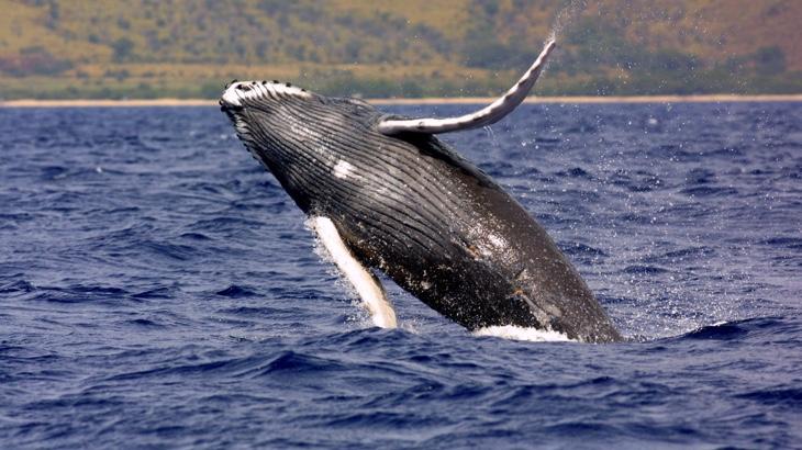 OSN nařídila Japonsku ukončit lov velryb!